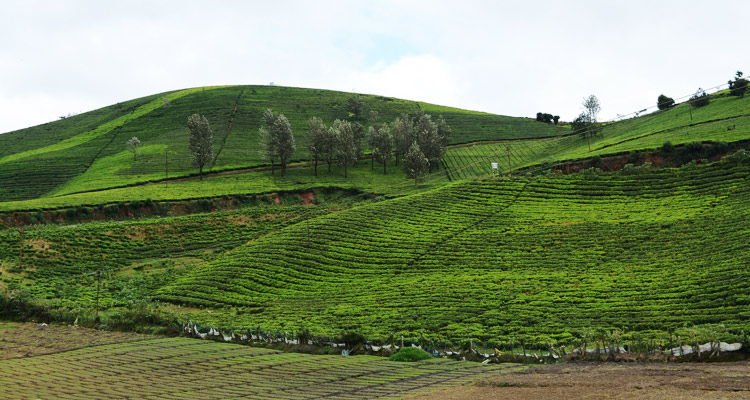 1 Day Ooty Avalanche Tour Local Sightseeing Package with Tea Garden